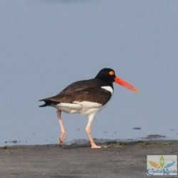 oyster catcher1